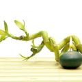 Бамбук щастя (драцена Сандера, спіраль): догляд, розмноження, посадка. Як закрутити спіраль?