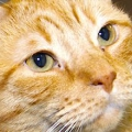 Хвороби очей у кішок: симптоми та лікування. Які бувають захворювання очей у кішок і як їх розпізнати?