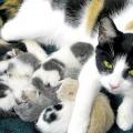 Чумка у кішок - симптоми і лікування. Перші ознаки чумки у кішок