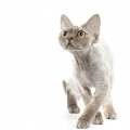 Гіпоалергенна кішка. Породи кішок - фото, опис