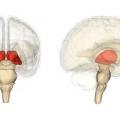 Гіпофіз головного мозку і аденома гіпофіза
