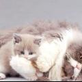 Як годувати годує кішку? Чим годувати годує британську кішку? Корм для кішок