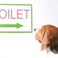 Як привчити собаку до туалету на вулиці? Привчання щеняти або дорослого собаки до туалету