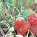 Як садити полуницю? Після якої культури садити полуницю? Коли садити полуницю вусами?
