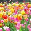 Як садити тюльпани восени