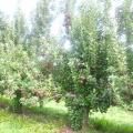 Як доглядати за яблунею навесні, влітку і восени? Посадка, обрізка і догляд за яблунями