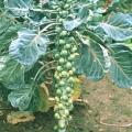 Як виростити брюссельську капусту? Брюссельська капуста: догляд, фото