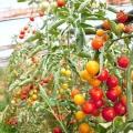 Як виростити помідори в теплиці: тонкощі догляду, полив, хвороби