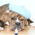 Яка температура повинна бути у собак і як її правильно виміряти