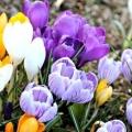 Які квіти садити восени? Посадка багаторічних квітів восени