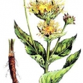Корінь трави оман: застосування при виразці дванадцятипалої кишки, затримці місячних і безплідді