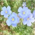 Лляне насіння - відмінний засіб для збереження здоров'я, молодості і краси
