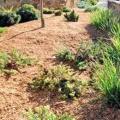 Мульчування грунту скошеною травою, тирсою, корою сосни