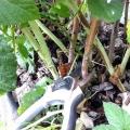 Обрізка малини восени. Догляд за малиною - обрізка