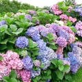 Чому не цвіте гортензія в саду або вдома? Шукаємо причини
