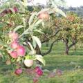 Посадка яблунь навесні і восени