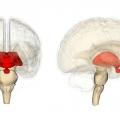 Проміжний мозок як найважливіша складова нервової системи