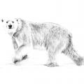 Рекомендації для художників-дилетантів: як намалювати ведмедя