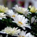 Ромашки садові: вирощування і догляд. Ромашки садові багаторічні