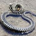 Найбільш отруйні змії в світі. Отруйні змії росії