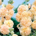Шток-троянда: посадка і догляд, фото. Шток-троянда: вирощування з насіння