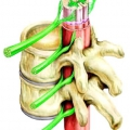 Спинний мозок: будова і функції органу центральної нервової системи