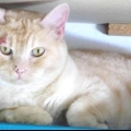 Стригучий лишай у кішок: симптоми, лікування, профілактика