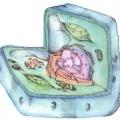 Будова еукаріотичної клітини грибів, рослин і тварин