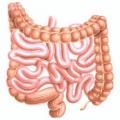 Будова кишечника і безпосередні функції цього органу