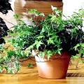 Тіньовитривалі кімнатні рослини. Тіньовитривалі кімнатні рослини для передпокою
