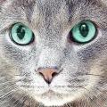 У кішки сльозяться очі: причини. Що робити, якщо у кішки сильно сльозяться очі