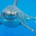 Види акул, назви, фото. Тигрова, піщана, сахалінська і гігантська акули