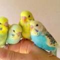 Хвилясті папуги: як приручити до рук і зробити так, щоб вихованець перестав вас боятися?