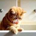 Запори у кішок - причини, лікування. Правильне харчування для кішок