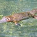 Тварини австралії: список. Сумчасті тварини австралії