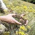 Безсмертник (квітка): корисні властивості, застосування та протипоказання
