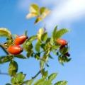 Чим корисний шипшина для організму? Корисні властивості плодів шипшини