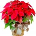 Квітка пуансетія: як доглядати?
