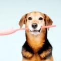Як чистити зуби собаці? Ультразвукова чистка зубів: відгуки