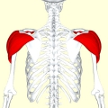 Як накачати плечі? Як накачати м'язи плеча - вправи