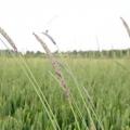 Культурні трави - подарунок природи
