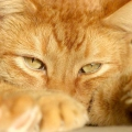 Пухнасте сонце: породи рудих котів
