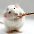 Скільки живуть домашні пацюки? Щур в домашніх умовах