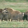 Тваринний світ тундри. Які тварини мешкають в зоні тундри