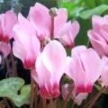 Квітка цикламен: особливості догляду