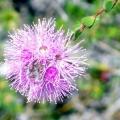 Квітка мирт: догляд і сорти