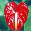 """Квітка """"чоловіче щастя"""", який приносить удачу сильній половині людства"""