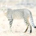 Дика кішка: список та короткий опис видів