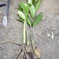Доларове дерево: як доглядати, щоб йому у вас було комфортно?