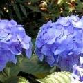 Гортензія садова: особливості посадки та догляду за рослиною